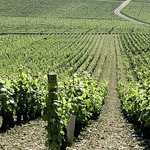  Les vignes champagne