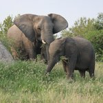                    Elephant herd had two or three babies