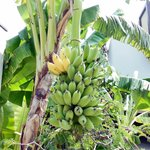 Garden with bananas