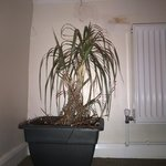 Dying yucca with damp