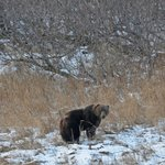 Brown bear in the bay
