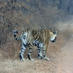 The tigress known as T16
