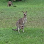 Kangaroos joined us for breakfast!