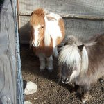                    The Fuzzy miniature horses