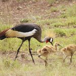  Crowned Crane with young