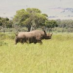  Black Rhino