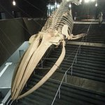 The skeleton of a fin whale that greats you at the entrance