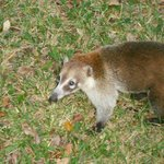  One of many coatis you will see around the resort
