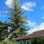                                     Norfolk island pine