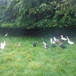 Ducks by the barn