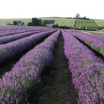 Lavender fields in Full bloom in July