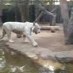                    tigre blanco