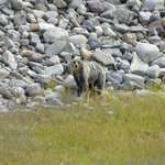  Our first grizzly sighting