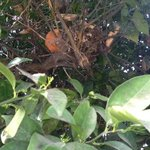  Orange in a tree with a bird&#39;s nest next to it.