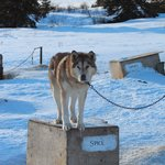                    Sled dog stables...