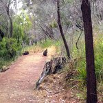 wallaby on our walk