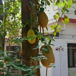                                                        jack fruit in the garden
