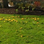 Hyde Hall Crocuses