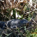 One of many BIG alligators along the shoreline sunning themselves.