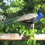  One of many peacocks that have called Lekkerwijn home over the past 100 years