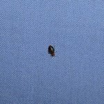                                                        bed bug on bed sheet
