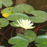 Lotus in the lotus pond