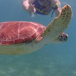                    Swimming wit sea turtles at Akumal Beach