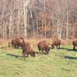 Over 100 buffalo on site
