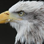  Liberty the Alaskan Bald Eagle