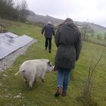                    Running about with Carly the pig