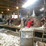                                      Sheep shearing at Catlins Farmstay