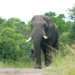 Magnificent elephant bull advancing steadily towards us