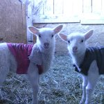                    two of the new lambs