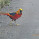 Golden Pheasant taken on the near by Sandringham estate