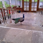 A warm welcome from the resident Peacock