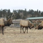                    Some elk hanging out by the roadside