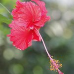                    Red Hibiscus - all over The Farm Inn&#39;s grounds