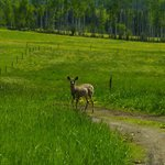 Mule Deer visiting the Ranch