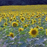 Val d'Orcia sunflower field