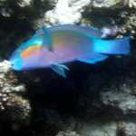                    rusty parrotfish