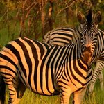                    Beautiful zebras on the Reserve