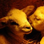 lambs under the heat lamps