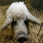 a curly coated pig