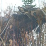 Moose Outside The Mcgill Cabin
