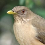 clay colored thrush at B&B