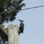 Piliated Woodpecker - Binoculars? forget it