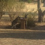 Baby kangaroos outside our bungalow