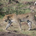 leopard offbeat