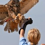 The Eurasian Eagle Owl is one of the birds flown in outdoor flight demonstrations in the fall.