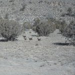 Deer in Nevada
